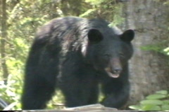Black Bear - stock footage