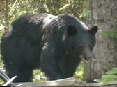 Stock Video Footage of Black Bear