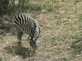 Stock Video Footage of Lone Zebra grazing