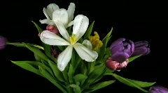 Time-lapse of fading colorful tulips bouquet 1 - stock footage