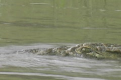 Croc swimming in the Rufiji River - stock footage