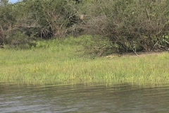 Croc in the Rufiji River - stock footage