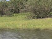 Croc in the Rufiji River Stock Footage