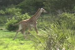 Young Giraffe walking Stock Footage