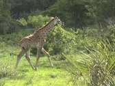 Stock Video Footage of Young Giraffe walking