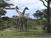 Stock Video Footage of Two Giraffes