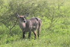 Bushbuck Stock Footage