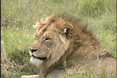 Lion resting in Ngorongoro Crater - stock footage