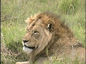 Stock Video Footage of Lion resting in Ngorongoro Crater