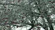 Stock Video Footage of frozen red berries on a tree