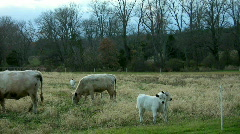Two American British White Park calves  Stock Footage