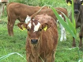 Stock Video Footage of Cows and Calves