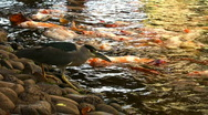 Stock Video Footage of heron and koi fish