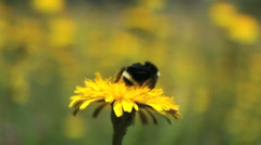 Bumblebee On Dandelion Stock Footage