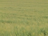 Waves in the rye Stock Footage