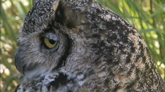 Great Horned Owl CU 2 Stock Footage