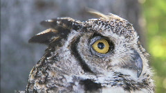 Great Horned Owl CU 4 Stock Footage
