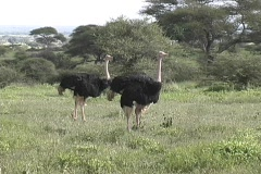 Two Male Ostrich Stock Footage
