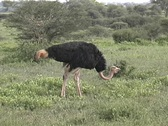 Stock Video Footage of Male Ostrich eating