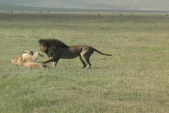 Lions fighting - stock footage