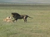 Lions fighting Stock Footage