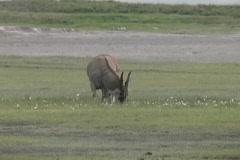 The Giant Eland in the Ngorongoro National Park Stock Footage