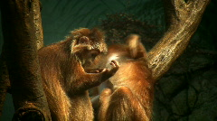 Langur monkeys debug each other and one bites the other's nipple - stock footage