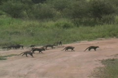 Mongoose in the Tarangire National Park in Tanzania Africa - stock footage