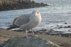 Herring Gull  Stock Footage