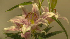 Lily flowering time lapse Stock Footage