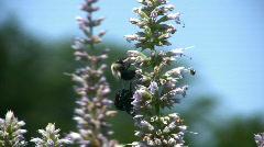 Bubblebee and beetles  Stock Footage