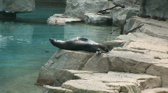 California Sea Lions enjoy laying together Stock Footage
