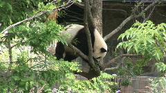 Panda Bear segment three Stock Footage