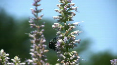 Beetles mate Stock Footage