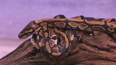 Baby ball pythons Stock Footage