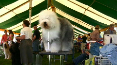 English sheepdog in a dog show Stock Footage