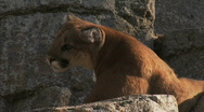 Stock Video Footage of Young Cougar Med 2