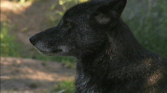 Stock Video Footage of Black Timber Wolf ECU