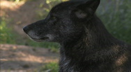 Black Timber Wolf ECU  Stock Footage