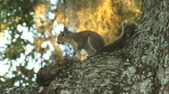 Squirrel In A Tree 01 Stock Footage