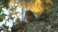 Stock Video Footage of Squirrel In A Tree 02