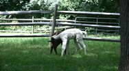 Stock Video Footage of playful  adolescent alpacas