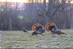 Untitled Clip 01 56 wild turkey Stock Footage