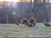 Untitled Clip 01 56 wild turkey Stock Footage