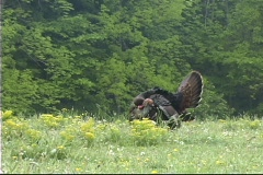 Wild turkey gobbleing Stock Footage