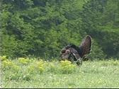 Wild turkey gobbleing Stock Footage