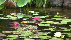 Water lilies float in a pond - stock footage
