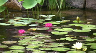 Stock Video Footage of Water lilies float in a pond