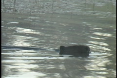 Untitled Clip 01 4 D Beaver 1 Stock Footage