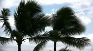 Stock Video Footage of palm trees sway in the wind